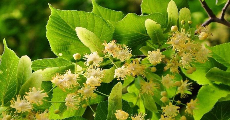 que puedo tomar para la ansiedad infusiones naturales plantas medicinales